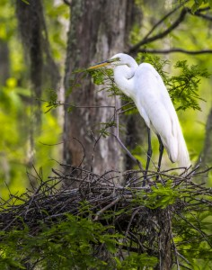 great egret photography