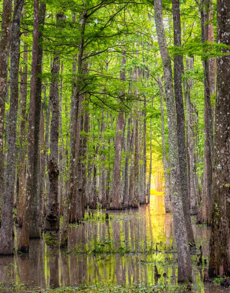 Bayou Teche National Wildlife Refuge swamp photography