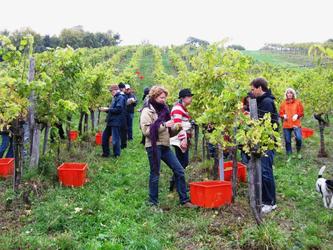 Photo of people picking grapes in Vienna