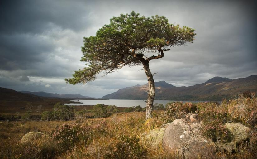 The lonesome pine.