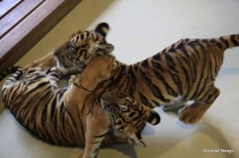 Tiger Kingdom, Chiang Mai 8
