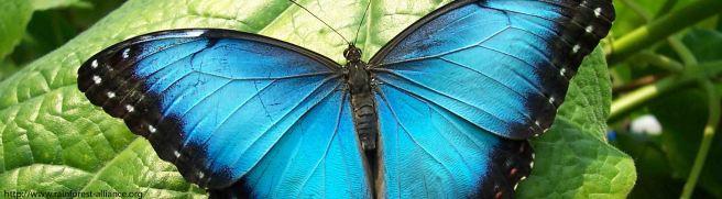 lots of blue butterflies