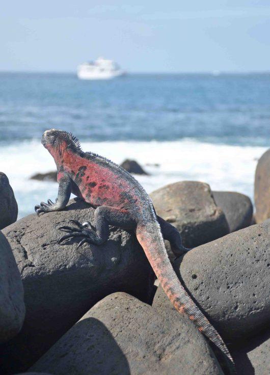 Pink marine iguana