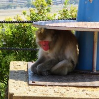An alternate adventure: Monkeys in Arashiyama