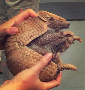 armadillo at Point Defiance Zoo in the summer