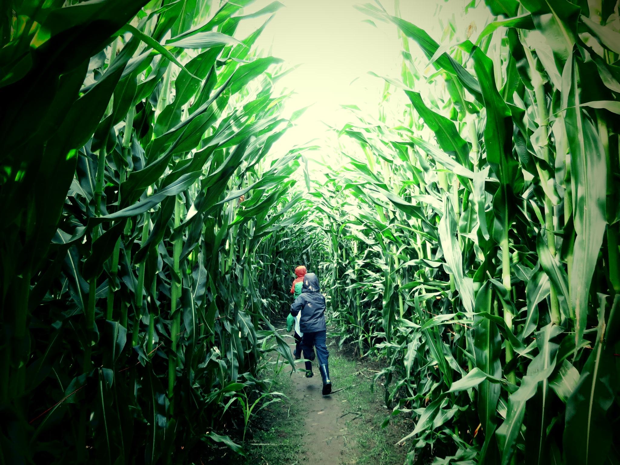 corn mazes with kids near seattle