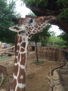 giraffes at Dallas Zoo with kids
