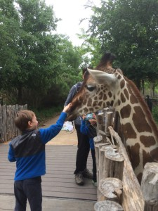 you can touch and feed the giraffes at the Dallas Zoo