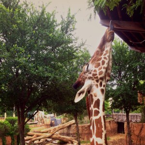 giraffes at the Dallas Zoo are fun to feed with kids