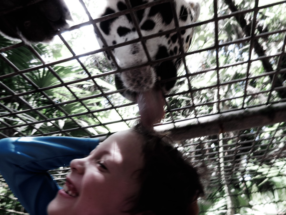 We've been licked by a jaguar and now we love them even more (an inspiring visit to the Belize Zoo with kids)
