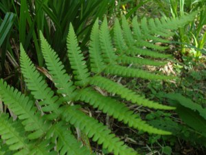 Fern, unidentified, May 2012