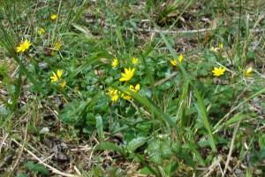 Flowers, Lesser Celandine, May 2012