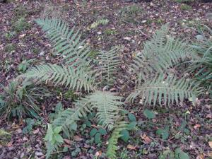 Fern, unidentified, November 2012