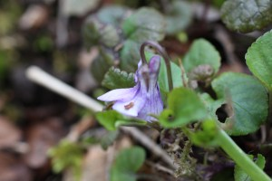 Flowers, dog violet, April 2013