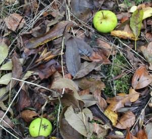 Trees, Crab Apple, October 2013