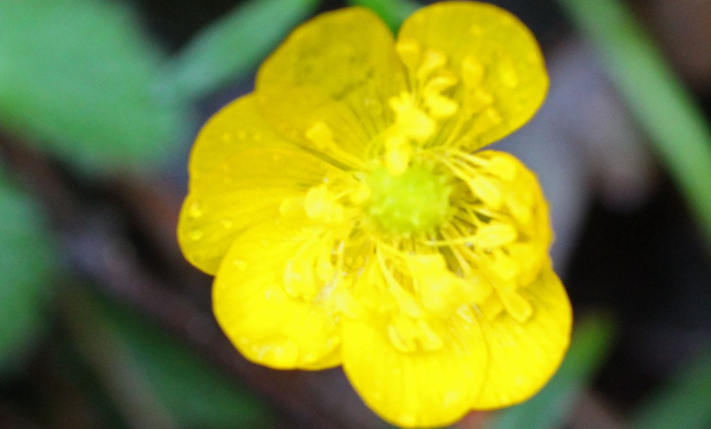 Flowers, Creeping Buttercup, November 2013