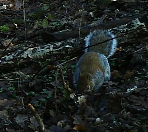 Squirrel, Grey, January 2014