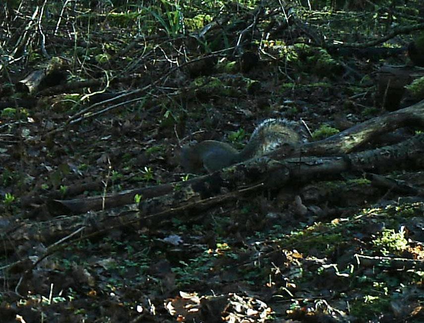 Fauna, Grey Squirrel, February 2014