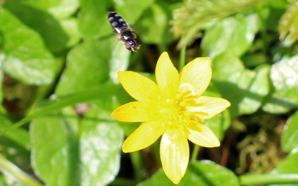 Flower, insect, Lesser Celandine, provisional idenification, April 2014