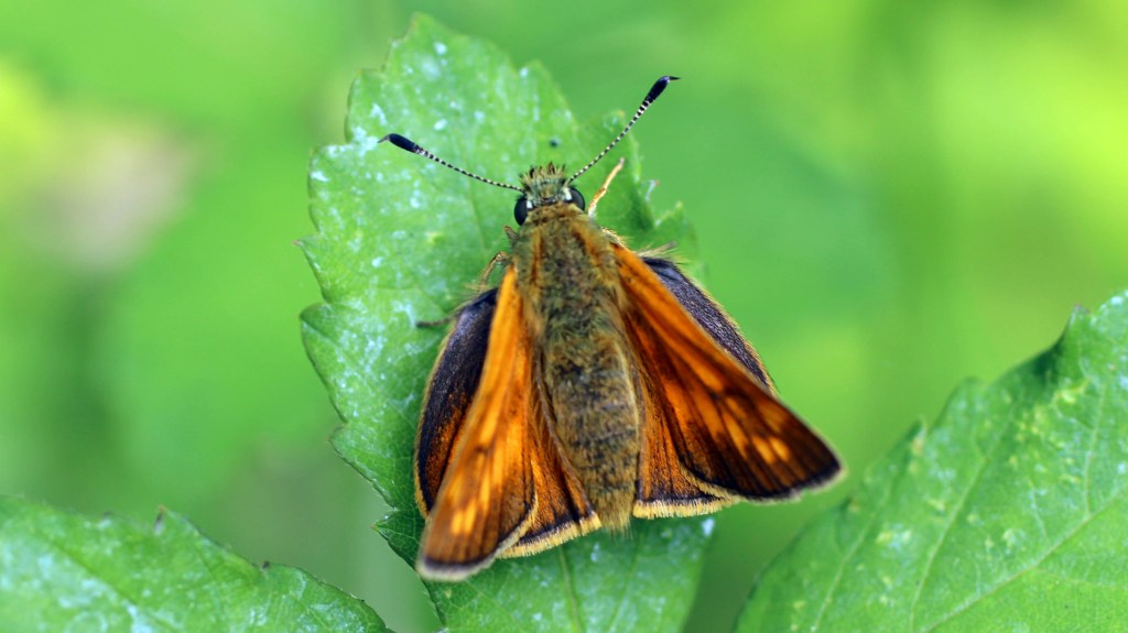 Butterfly, Large Skipper, provisional identification, June 2014