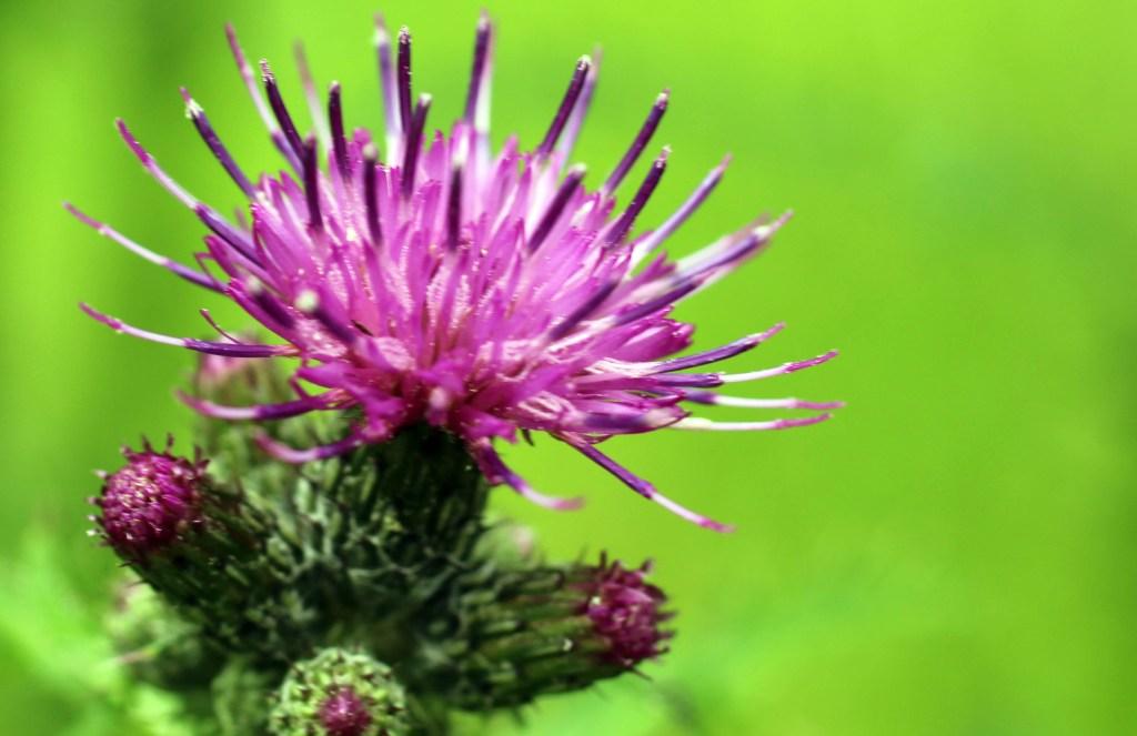 Flowers, Marsh Thistle, provisional identification, July 2014