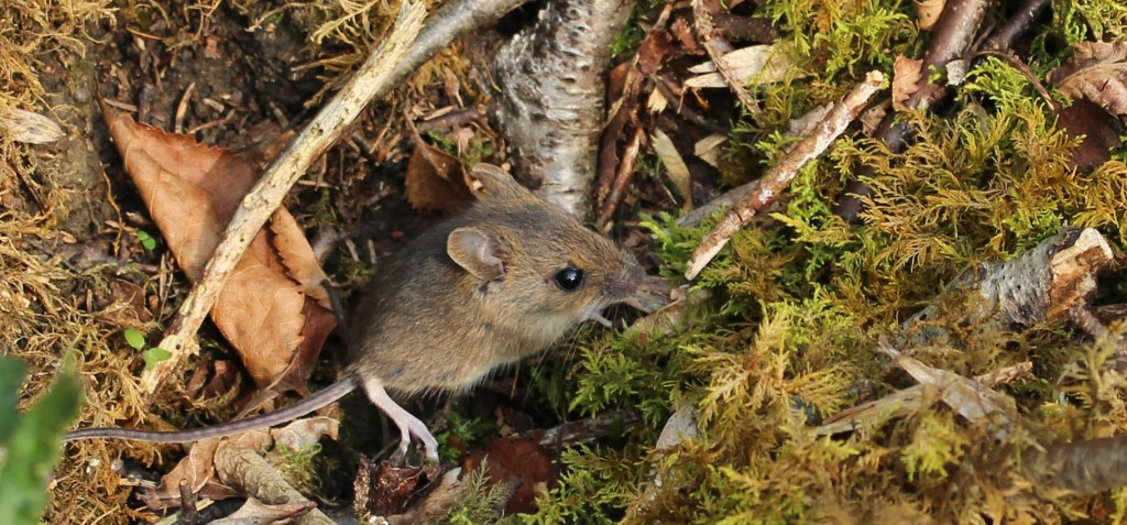 Fauna, Wood Mouse, September 2014