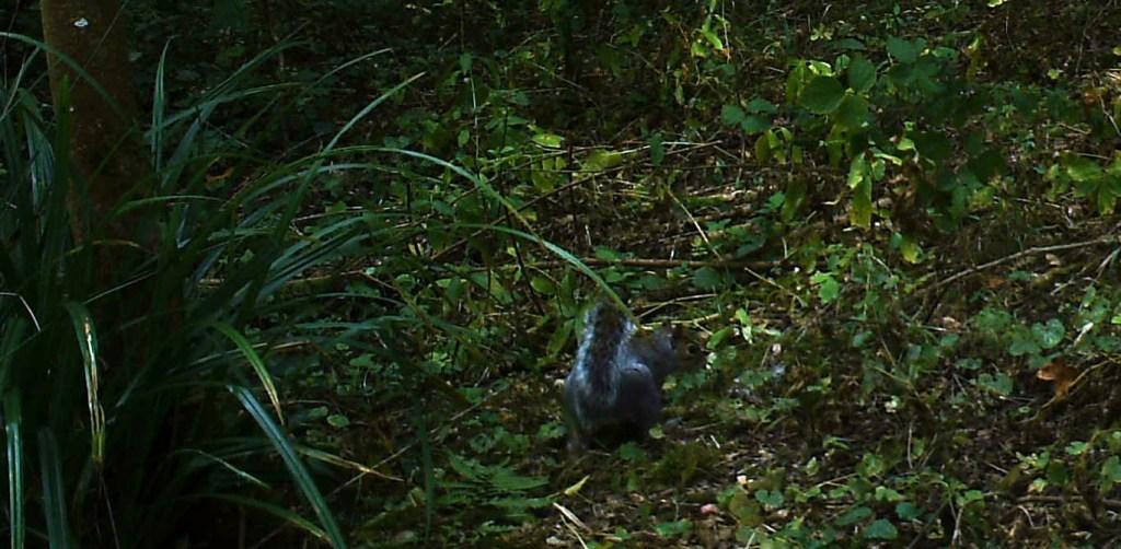 Fauna, Grey Squirrel, September 2014