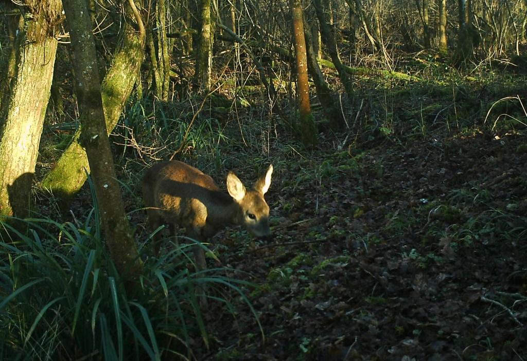 Site fauna Roe Deer 2014 12 29_edited-2
