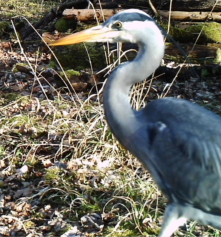 Fauna, Heron, February 2015