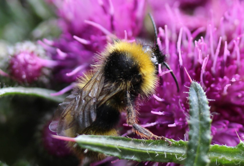Bee, Buff-tailed bumblebee, provisional identification, May 2015