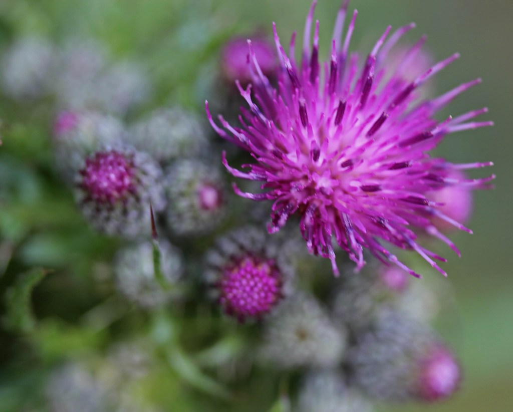 Flowers, Marsh Thistle, provisional identification, May 2015