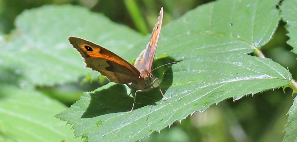 Butterfly, Meadow Brown, July 2015