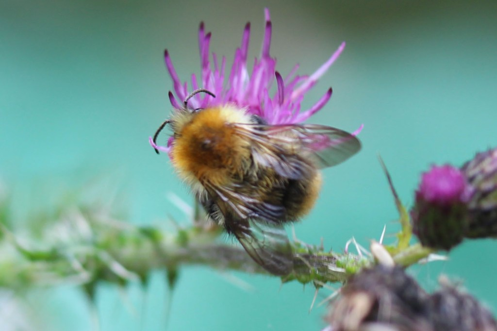 Insect, Bumblebee, Common Carder, provisional identification, August 2015