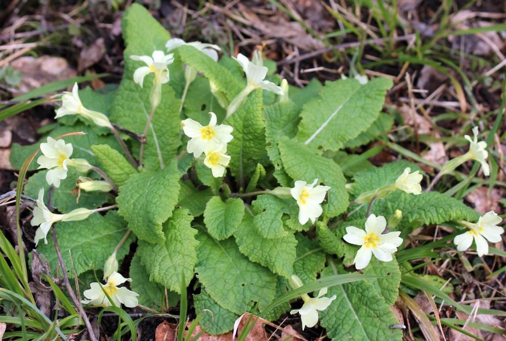 Flowers, Primrose, March 2016