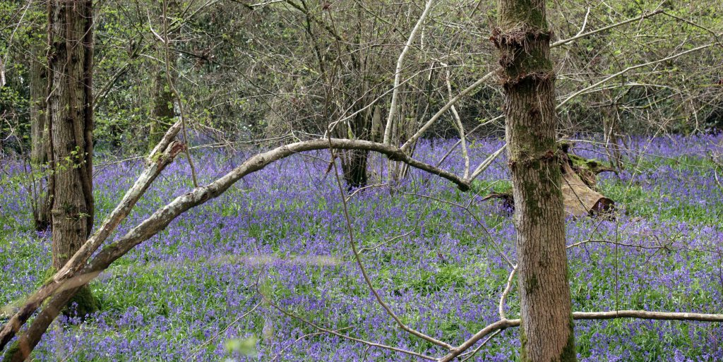 Flowers, Bluebells, May 2016