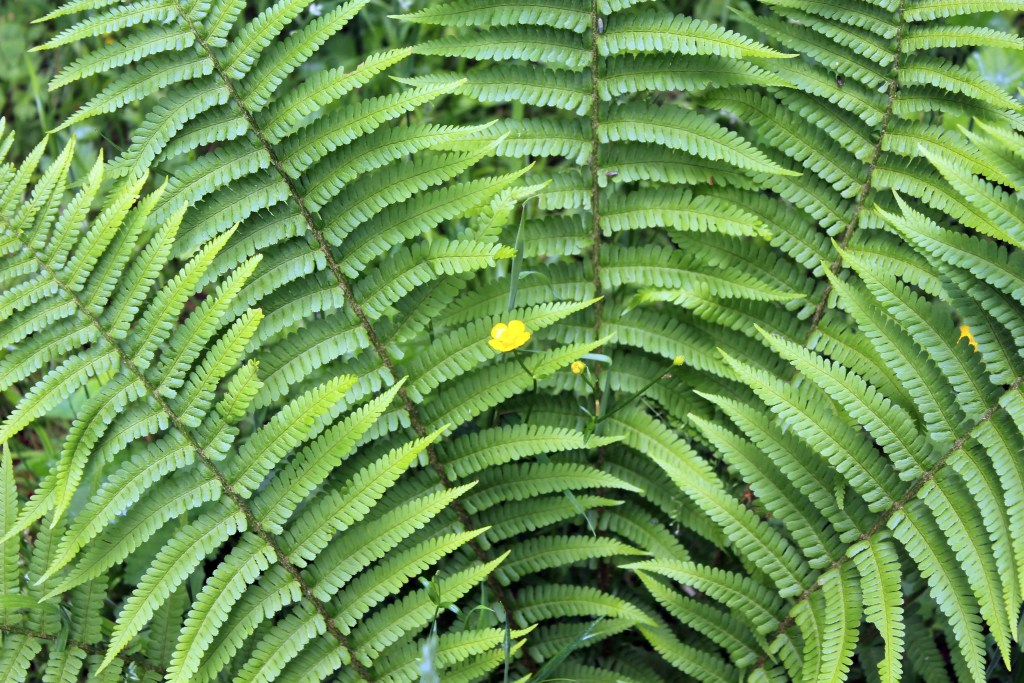 Plants, Fern and Creeping Buttercup, June 2016