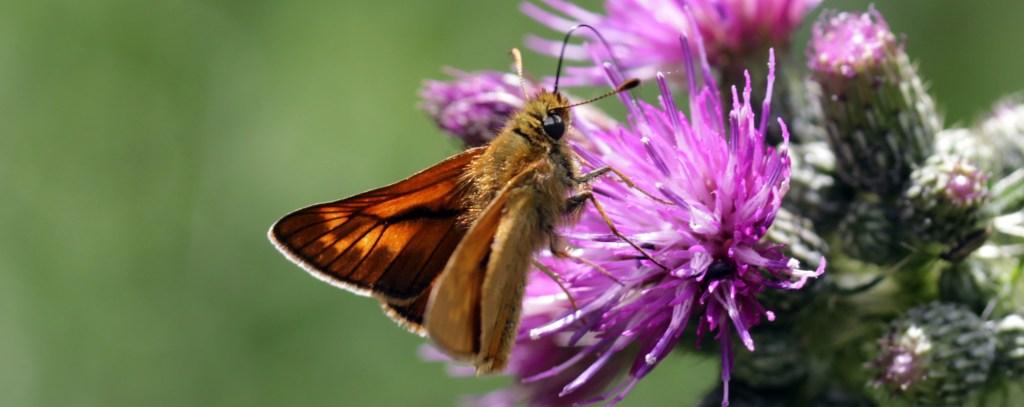 Butteflies, Large Skipper, July 2016