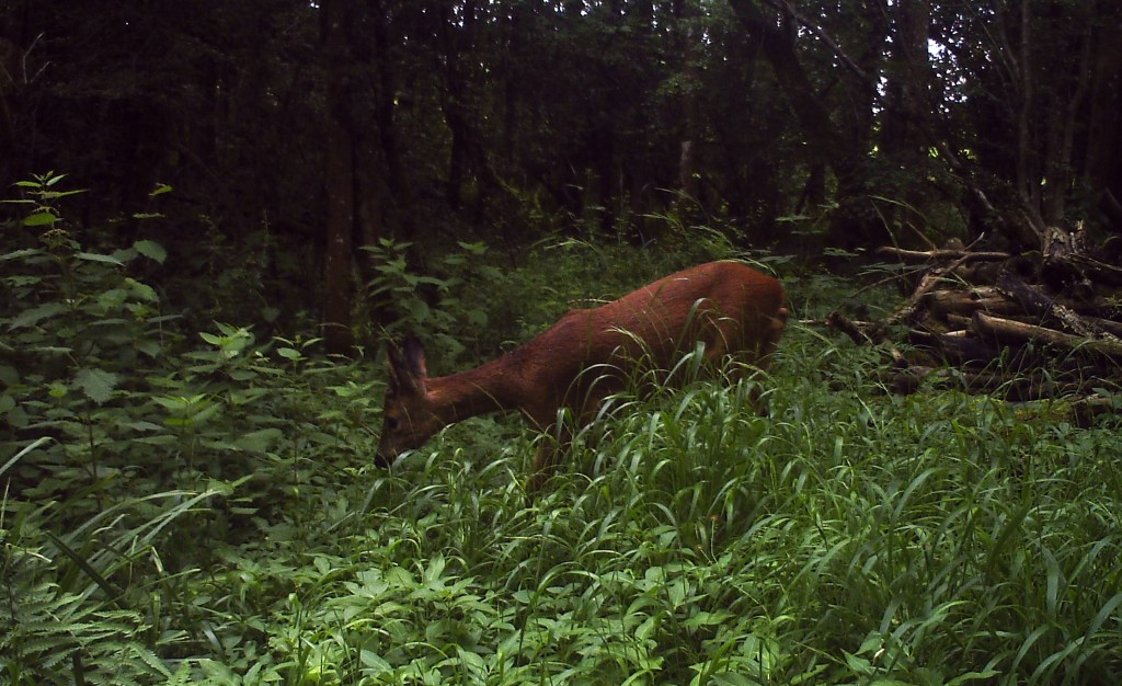 Fauna, Roe Deer, June 2016