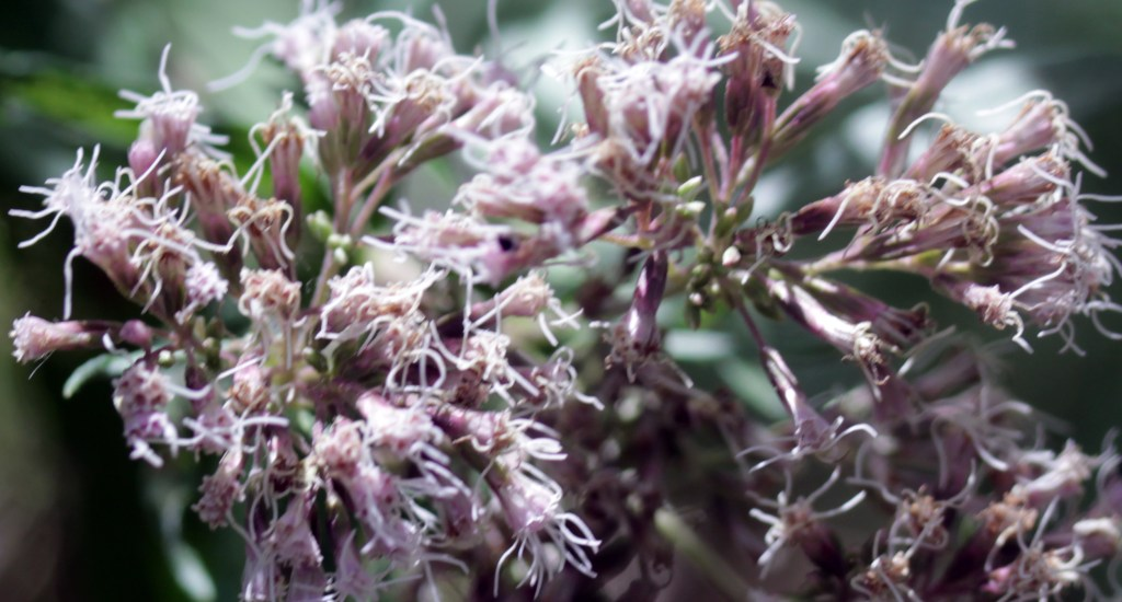 Plants, Hemp Agrimony, September 2016