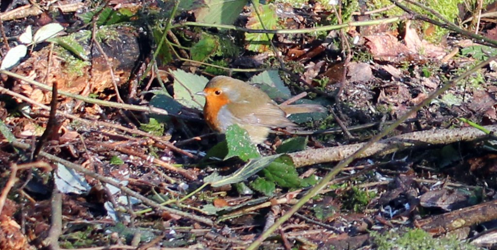 Birds, Robin, January 2017