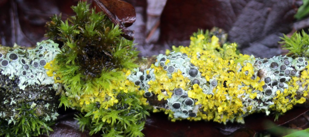 Lichen, Physcia aipolia, provisional identification, February 2017