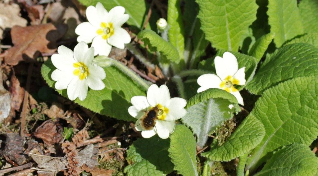 Insects, Flowers, Bee Fly, Primroses, April 2017