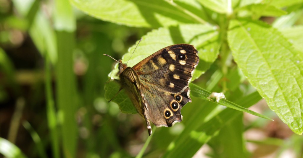 Butterflies, Speckled Wood, May 2017