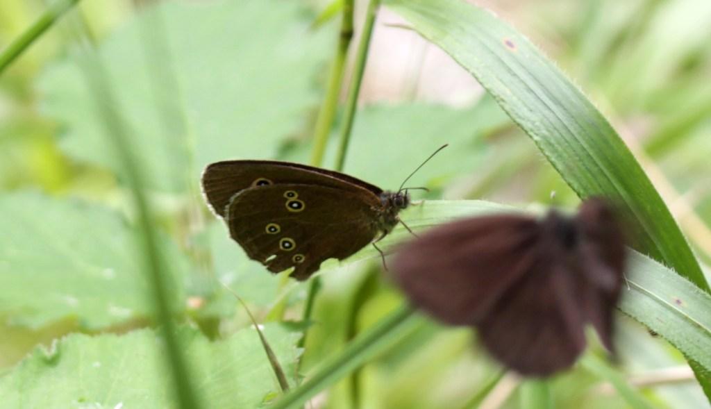Butterflies, Ringlet, July 2017
