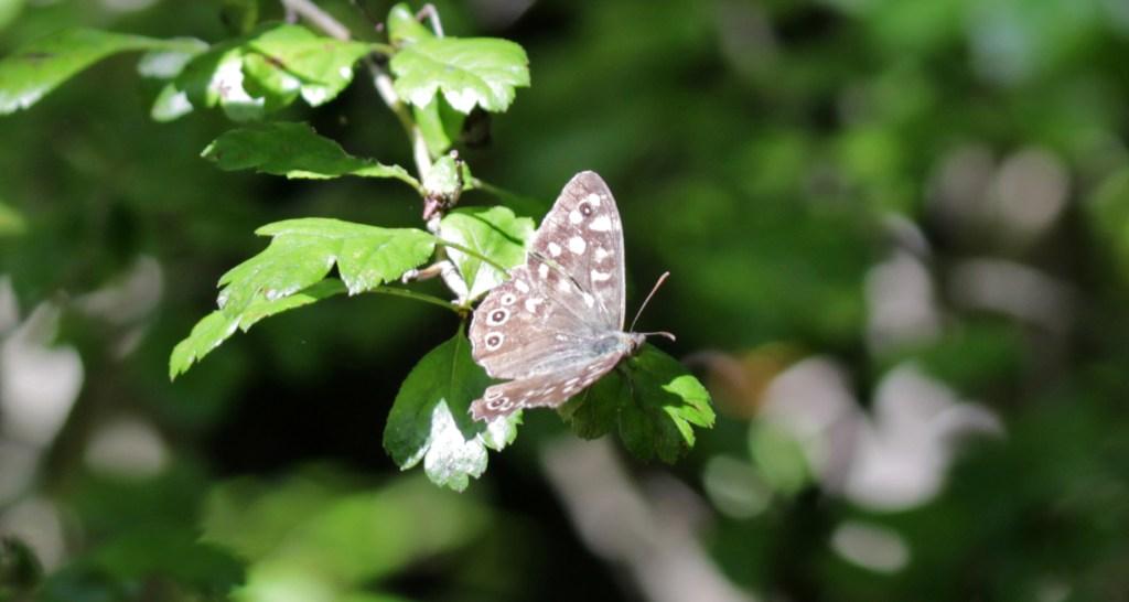 Butterflies, Speckled Wood, August 2017
