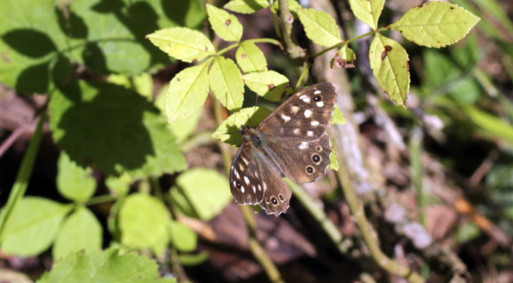 Butterflies, Speckled Wood, September 2017