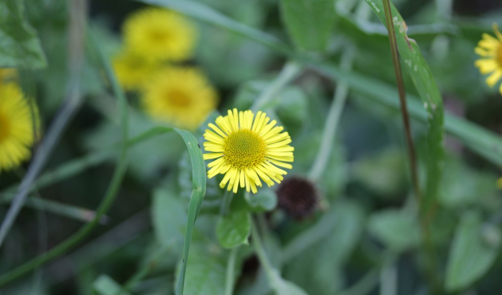 Flowers, Common Fleabane, August 2017