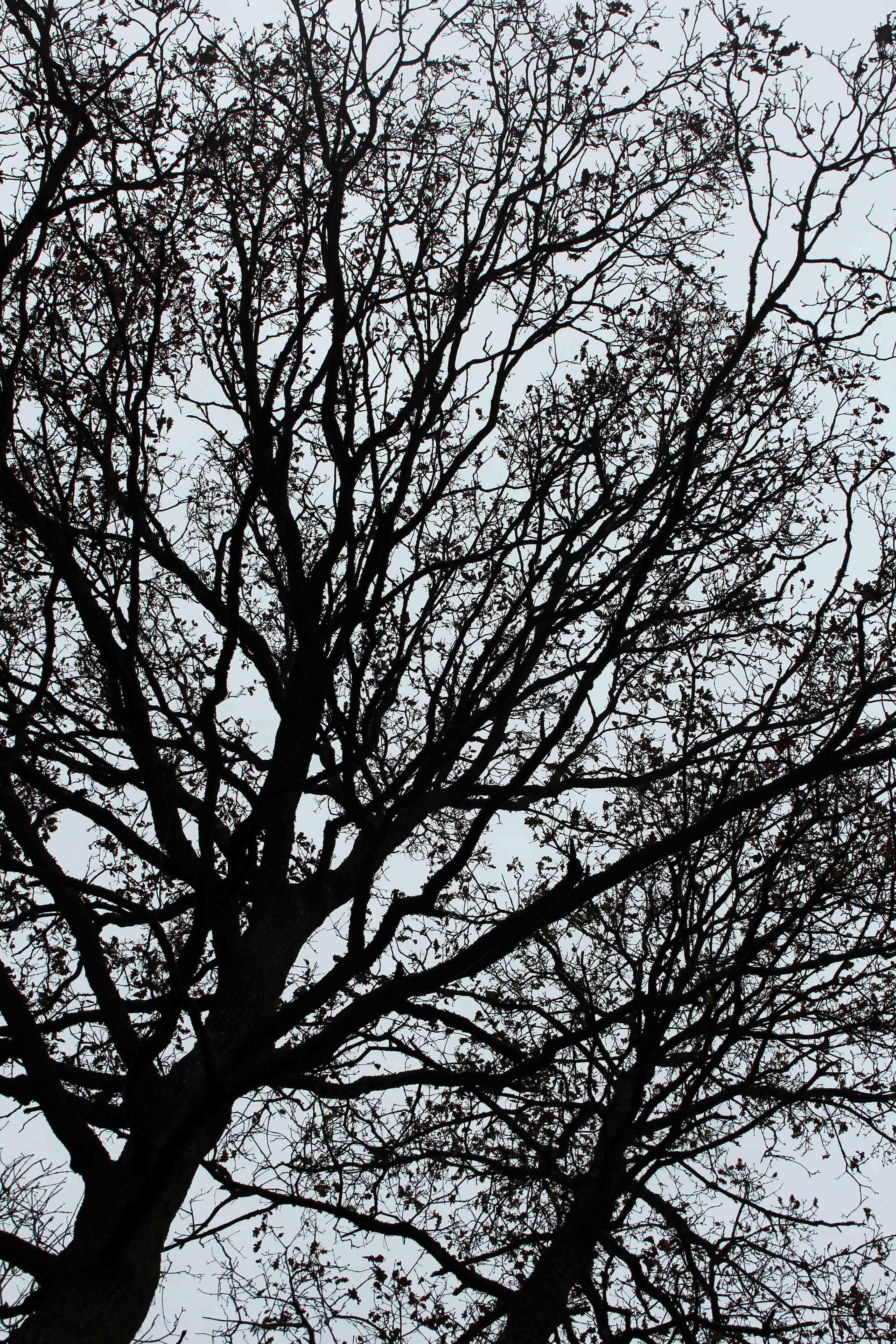 Trees, Oak, December 2017