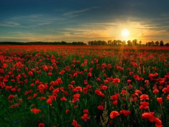 poppies and twilight