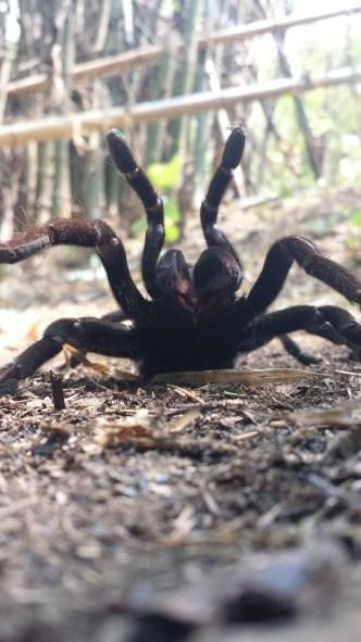 Trekking edderkop2